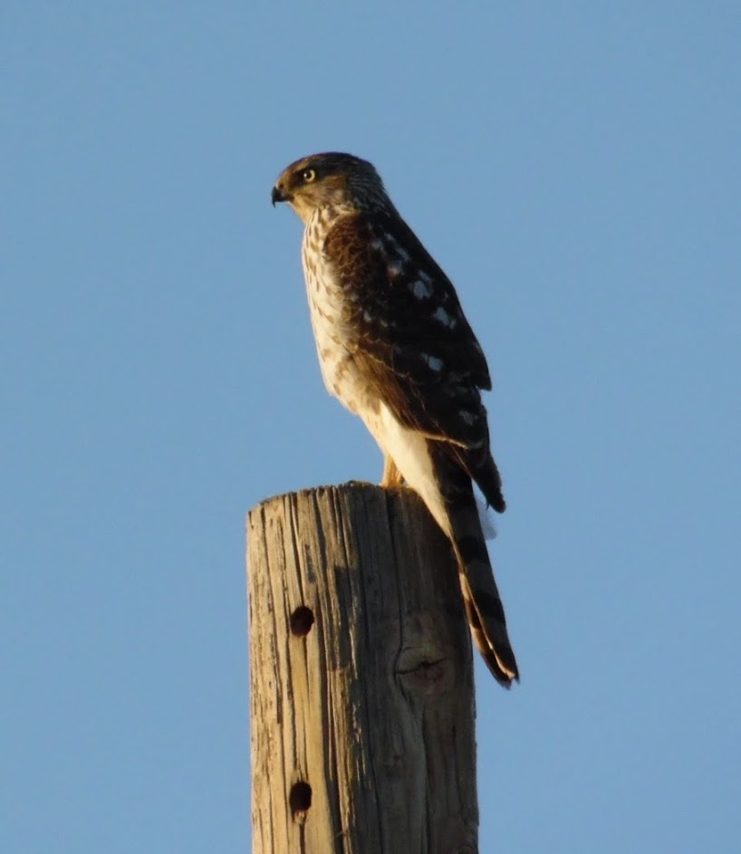 Pam McNabb HAwk on a pole